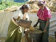 Upland rice harvest in the Kayaw ethnic minority village of Ya Co Pra, Kayah State, Myanmar on 21st November 2016