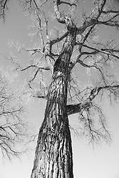 Cottonwood Trees in Santa Fe, New Mexico