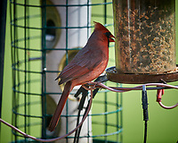 Male Northern Cardinal. Image taken with a Nikon D5 camera and 600 mm f/4 VR lens (ISO 640, 600 mm, f/4, 1/1250 sec).