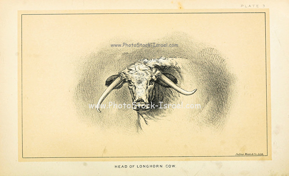 Longhorn Cow from Cattle and dairy farming. Published 1887 by Govt. Print. Off. in Washington. United States. Bureau of Foreign Commerce (1854-1903)