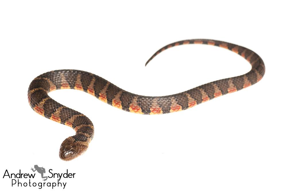 Brown-banded water snake, Helicops angulatus, Iwokrama, Guyana, July 2013