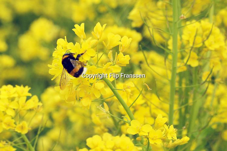 Nederland, the Netherlands, Batenburg, 30-4-2016Veld met bloeiend geel koolzaad  . een hommel doet zich tegoed aan de nectar van de bloemenFOTO: FLIP FRANSSEN/ HH