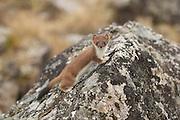 Weasel in Denali National Park