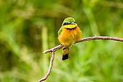 Colourful Little Bee-eater (Merops pusillus) perched on a brach. Photographed in Serengeti National Park, Tanzania
