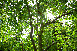 Backlit leaves of Cercidiphyllum japonicum f. pendulum in autumn colour. Pendulous katsura