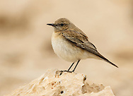 Black-eared Wheatear - Oenanthe hispanica - female