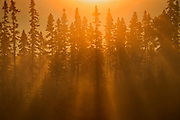 Fog in boreal forest at sunrise<br />
