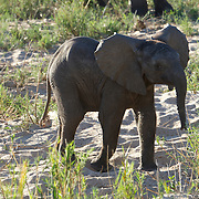 African elephant, young calf.  MalaMala Game Reserve. South Africa.