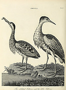 The Stellated Bittern and the little Bittern Copperplate engraving From the Encyclopaedia Londinensis or, Universal dictionary of arts, sciences, and literature; Volume II;  Edited by Wilkes, John. Published in London in 1810