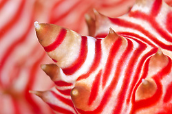 Detail of Peppermint Sea Cucumber, Thelenota rubralineata, Great Barrier Reef, Australia, Coral Sea, Pacific Ocean