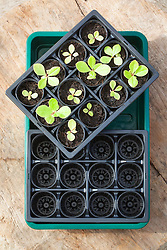 Plastic seed trays and jiffy pots. Seedlings of Talinum paniculatum 'Limon'