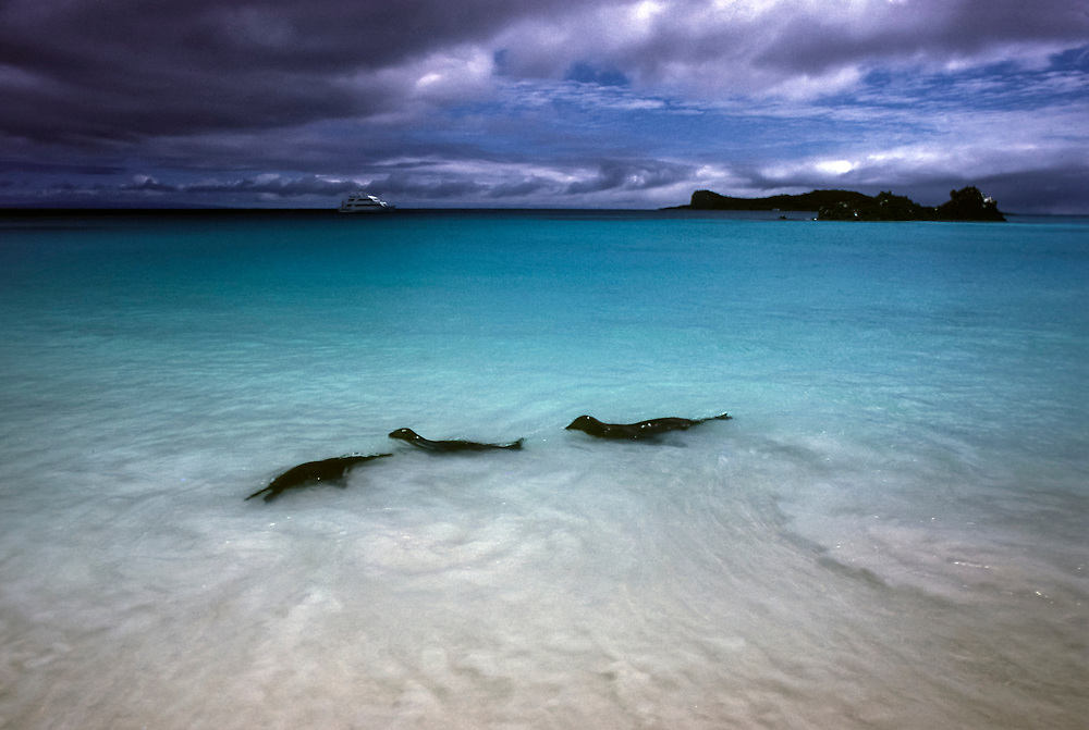 Sealions playing, Espanola Island, Galapagos