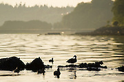 Ducks at sunrise in Port Angeles Harbor, Olympic Peninsula, Washington.