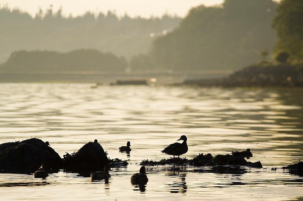 Ducks at sunrise in Port Angeles Harbor, Olympic Peninsula, Washington.