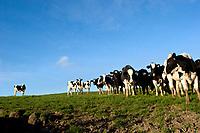 Dairy cows at Pt. Reyes, CA
