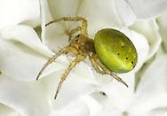 Green Orb-weaver Spider - Araniella cucurbitina