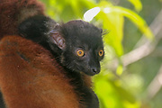 Black Lemur (Eulemur macaco) on a tree. Photographed on Nosy Tanikely Island, Madagascar