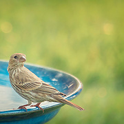 House finch perching on rim of large blue birdbath and looking back over shoulder.  Painted effects blended with original photograph.