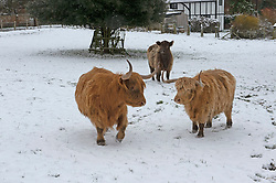 © Licensed to London News Pictures 08/02/2021.        Eynsford, UK. Highland Hamish Cows playing in the snow in Eynsford, Kent. The Met Office has warned of more freezing cold snowy weather to come with yellow and amber alerts in place for London, Kent and the South East. Photo credit:Grant Falvey/LNP