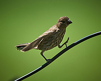 Immature Songbird. Image taken with a Nikon D5 camera and 600 mm f4 VR lens
