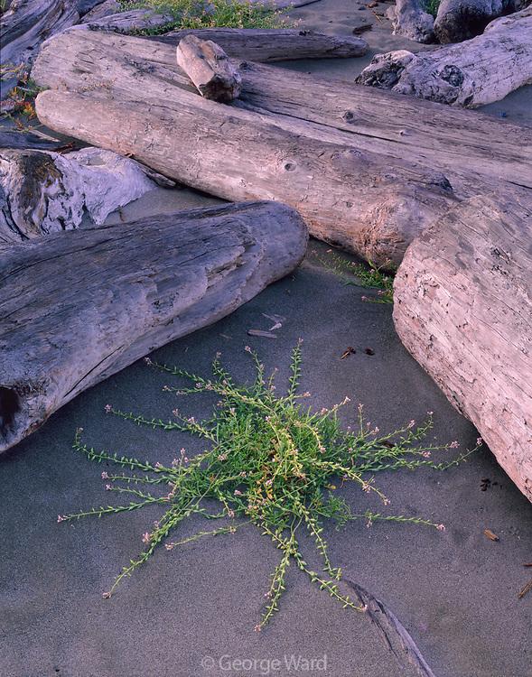 Searocket and Driftwood,Gold Bluffs Beach, Prairie Creek Redwoods State Park, Redwood National Park, California