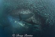bronze whalers, or copper sharks, Carcharhinus brachyurus, and larger dusky shark, above, Carcharhinus obscurus, feeding in baitball of sardines, Sardinops sagax, Transkei, during annual Sardine Run, South Africa