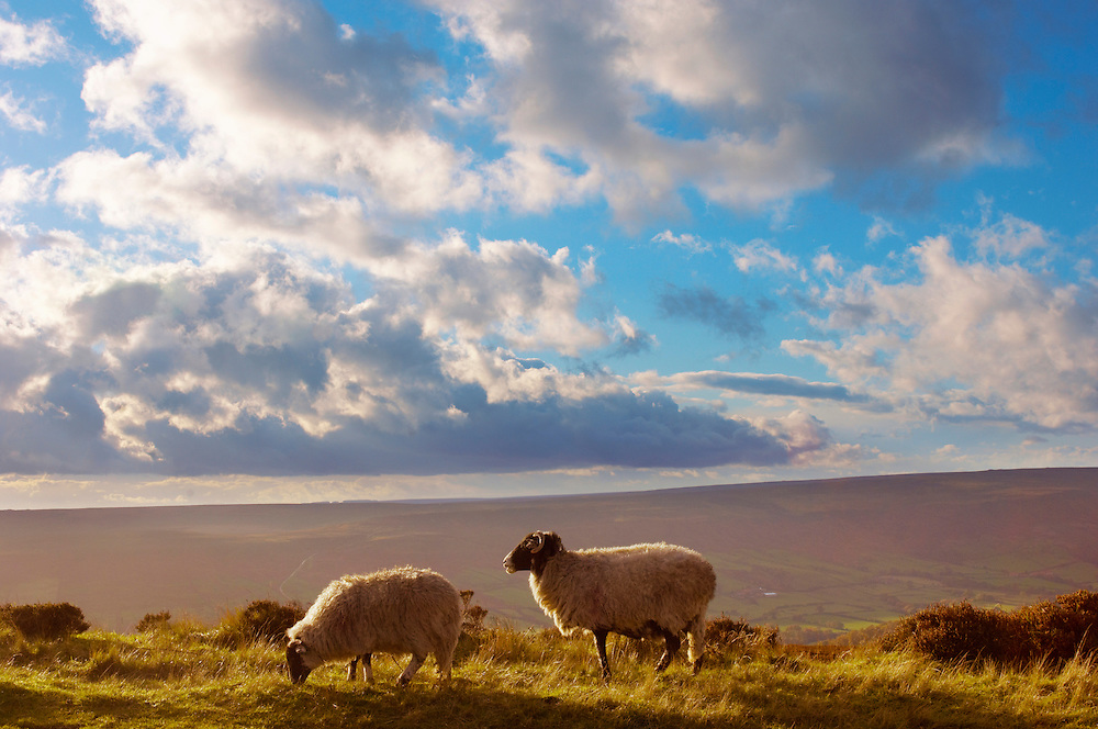 Moors sheep on Blakey Ridge, North Yorkshire Moors National Park, England. .<br /> <br /> Visit our ENGLAND PHOTO COLLECTIONS for more photos to download or buy as wall art prints https://funkystock.photoshelter.com/gallery-collection/Pictures-Images-of-England-Photos-of-English-Historic-Landmark-Sites/C0000SnAAiGINuEQ