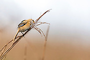 Young male of bearded reedling (Panurus biarmicus) feeding in the stout grass forest at Vejlerne, northern Denmark in June.