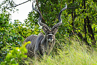 A Greater Kudu male antelope in a dense forest. Kruger National Park, the largest game reserve in South Africa.