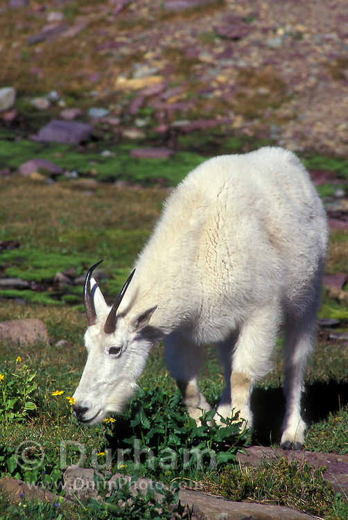 A female mountain goat (Oremanos americanus) browsing near Logan Pass in Glacier National Park, Montana.
