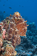 day octopus, common reef octopus, or big blue octopus, Octopus cyanea, in mottled reddish brown and white color pattern, on coral reef; Kohanaiki, North Kona, Hawaii Island ( the Big Island ), Hawaiian Islands, U.S.A. ( Central Pacific Ocean )