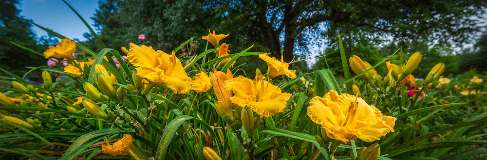 Sunshine Melody Irises bloom at BREC's Independence Park Botanic Gardens in Baton Rouge, La.