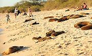 Galápagos sea lions (Zalophus wollebaeki) and tourists enjoy the last of the afternoon's sun on the sandy beach of Playa Mann. Puerto Baquerizo Moreno, San Cristobal, Galapagos, Ecuador.