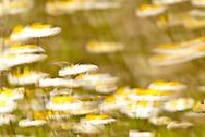 Daisies, Sarasota, Florida