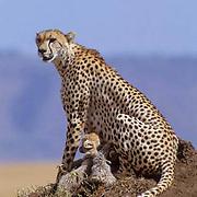 Cheetah, (Acinonyx jubatus) Mother and cubs on termite mound. Masai Mara Reserve. Kenya