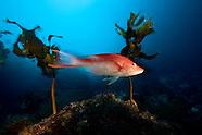 Bodianus unimaculatus (male) Red pigfish