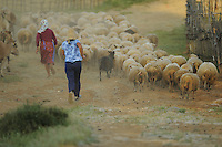 Drive the flock of sheep home in the evening. Lake Prespa National Park, Albania June 2009