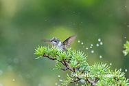 01162-15415 Ruby-throated Hummingbird (Archilochus colubris) bathing in sprinkler Marion Co. IL