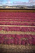 Flowers: Lompoc, California.