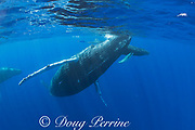 humpback whales, Megaptera novaeangliae, mother and calf, with a male escort following, and a leatherback or doublespotted queenfish, Scomberoides lysan, behind the female; West Maui, Hawaii, Hawaii Humpback Whale National Marine Sanctuary, USA ( Central Pacific Ocean )