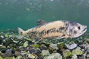 chum salmon, dog salmon, silverbrite salmon, or keta salmon, Oncorhynchus keta, in spawning stream, with body decomposing in preparation for death after spawning; Bear Trap, Port Gravina, Alaska, USA ( Prince William Sound )