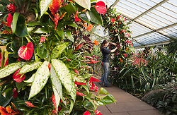 © Licensed to London News Pictures. 02/02/2012. London, England.  Royal Botanic Gardens at Kew celebrate the Tropical Extravaganza Festival 2012 with more than 6,500 tropical plants. The festival runs from 4 February to 4 March 2012. In this picture: Lindsey Schuman, Kew Diploma Student. Photo credit: Bettina Strenske/LNP