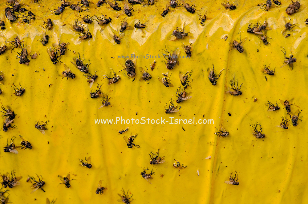 Flies stuck to flypaper A fly-killing device made of paper coated with a sweetly fragrant, but extremely sticky or poisonous substance that traps flies and other flying insects when they land upon it.