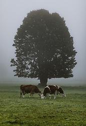 THEMENBILD - Kühe auf einer Weide mit einem Laubbaum im Nebel, aufgenommen am 09. Oktober 2019 in Kaprun, Oesterreich // Cows on a pasture with a tree in the fog in Kaprun, Austria on 2019/10/09. EXPA Pictures © 2019, PhotoCredit: EXPA/ JFK