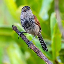 Choca-de-asa-vermelha (Thamnophilus torquatus) fotografado no Parque Nacional da Chapada dos Veadeiros - Goiás. Bioma Cerrado. Registro feito em 2015.<br /> ⠀<br /> ⠀<br /> <br /> <br /> <br /> <br /> <br /> ENGLISH: Rufous-winged Antshrike photographed in Chapada dos Veadeiros National Park - Goias. Cerrado Biome. Picture made in 2015.