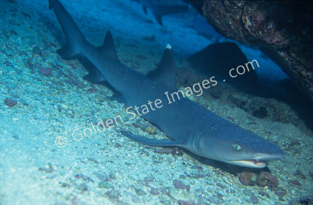Found in large numbers around Cocos Island.    <br /> <br /> The Cocos Islands are located about 300 miles off the coast of Costa Rica, and measure less than 10 square miles. <br /> <br /> Range: Tropical and subtropical Indo-Pacific    <br /> <br /> Species: Triaenodon obesus