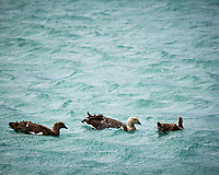 Upland Goose family in the water while traveling from Estancia Lazo to Hosteria Lago Grey. Torres del Paine National Park, Chile. Image taken with a Nikon D3s camera and 70-300 mm VR lens (ISO 200, 300 mm, f/11, 1/500 sec).
