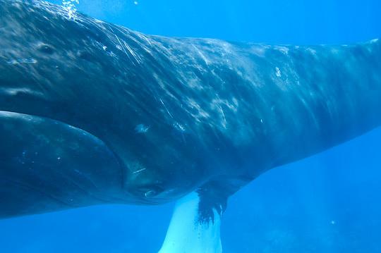 Humpback Whale (Megaptera novaeangliae).  adult whale. Caribbean Ocean.