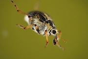 The milfoil weevil (Eubrychius velutus), here on water milfoil (Myriophyllum sp.),  is an aquatic weevil. The adults live fully submerged and take up oxygen from a layer of air around the body. Selent, Germany | Der Tausendblatt-Rüsselkäfer (Eubrychius velutus) ist ein guter Schwimmer und lebt komplett unter Wasser. Meist findet man ihn zwischen den den fiedrigen Blättern des Tausendblatts. Sauerstoff gewinnt er aus der Luftschicht, die seinen Körper umgibt. Westensee, Deutschland