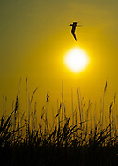 Merrick, New York, U.S. 20th June 2013. Tern flies over  marshland reeds at dusk on last full day of spring, at Levy Park and Preserve, the highest point of South Shore of Nassau County, Long Island.